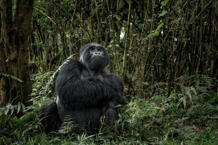 With towering volcanoes and lush rainforests, Virunga—Africa's oldest national park—prides itself for its successful gorilla conservation ...