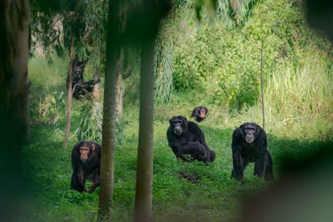 'I am scared all the time': Chimps and people are clashing in rural Uganda