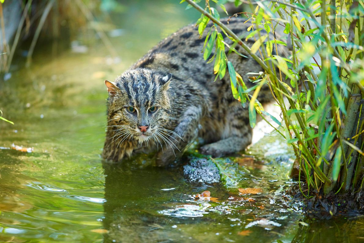 The fishing cat is an unusual and highly adapted small cat found in India and Southeast ...