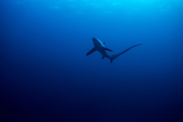 A thresher shark in open water near the Philippines. Three variants of the species – all ...