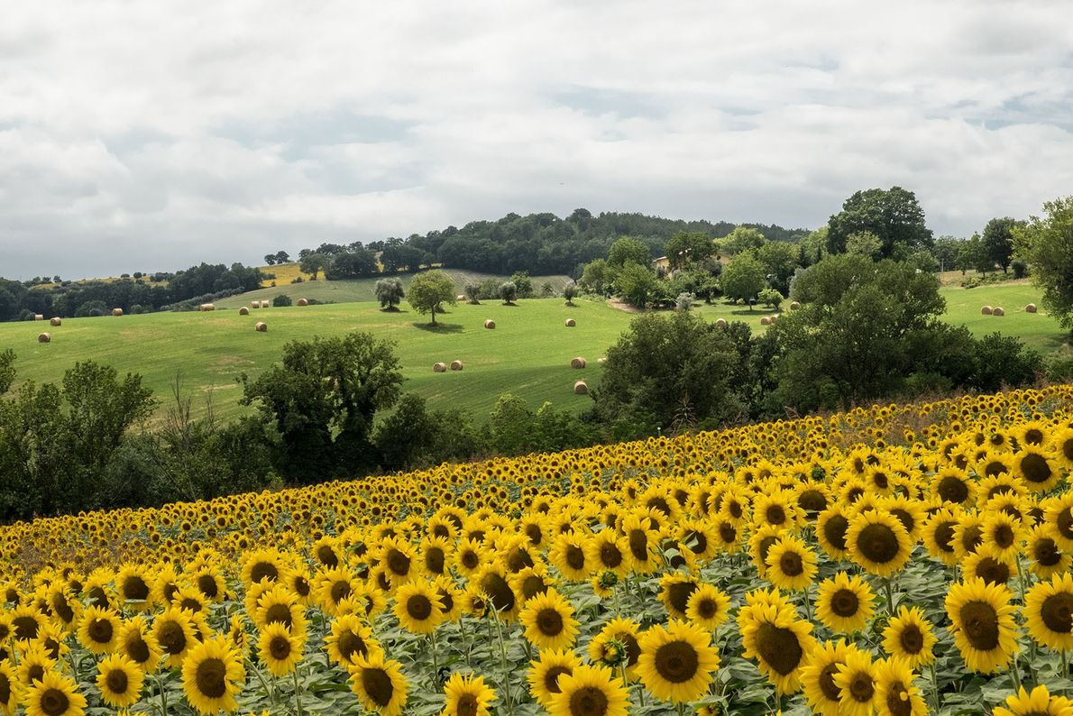 Sunflower fields cover the rolling countryside between Fabriano and Treia.