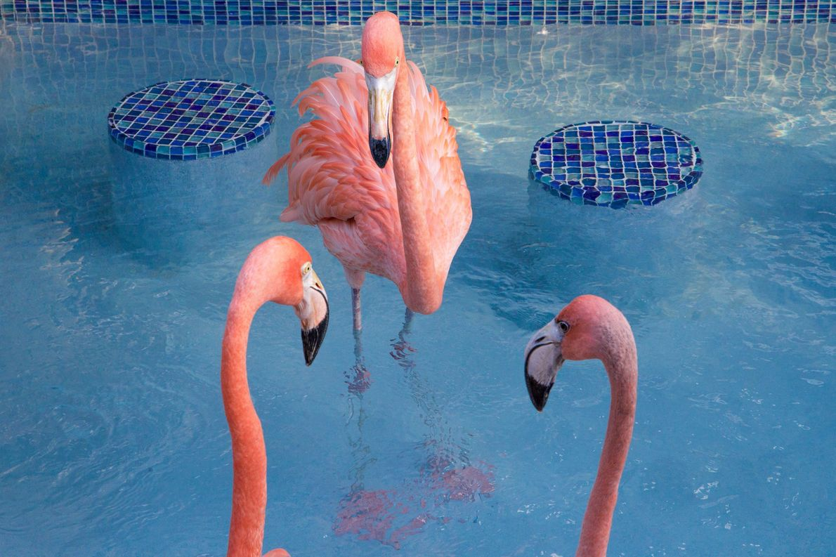 Bob (centre) hangs out with the other two permanent flamingo residents in their backyard pool. Both ...