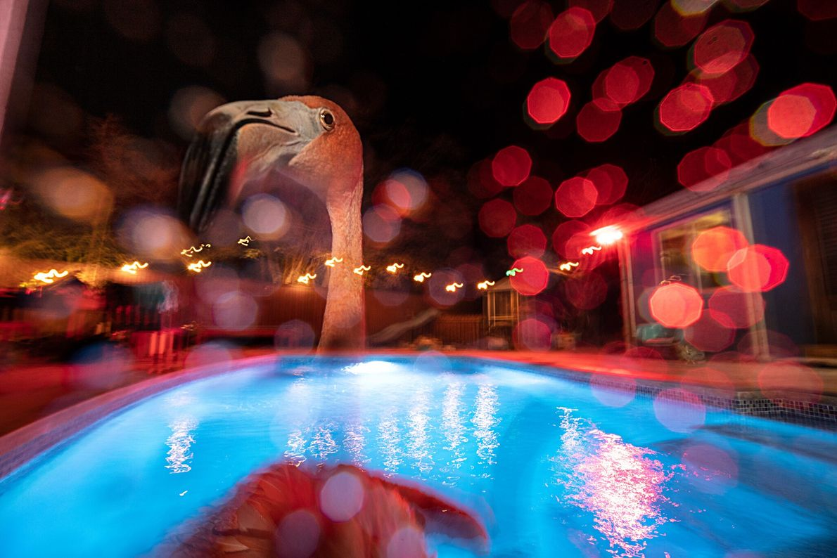 Bob, a flamingo, takes a nighttime swim in the saltwater pool behind his rescuer Odette Doest's ...