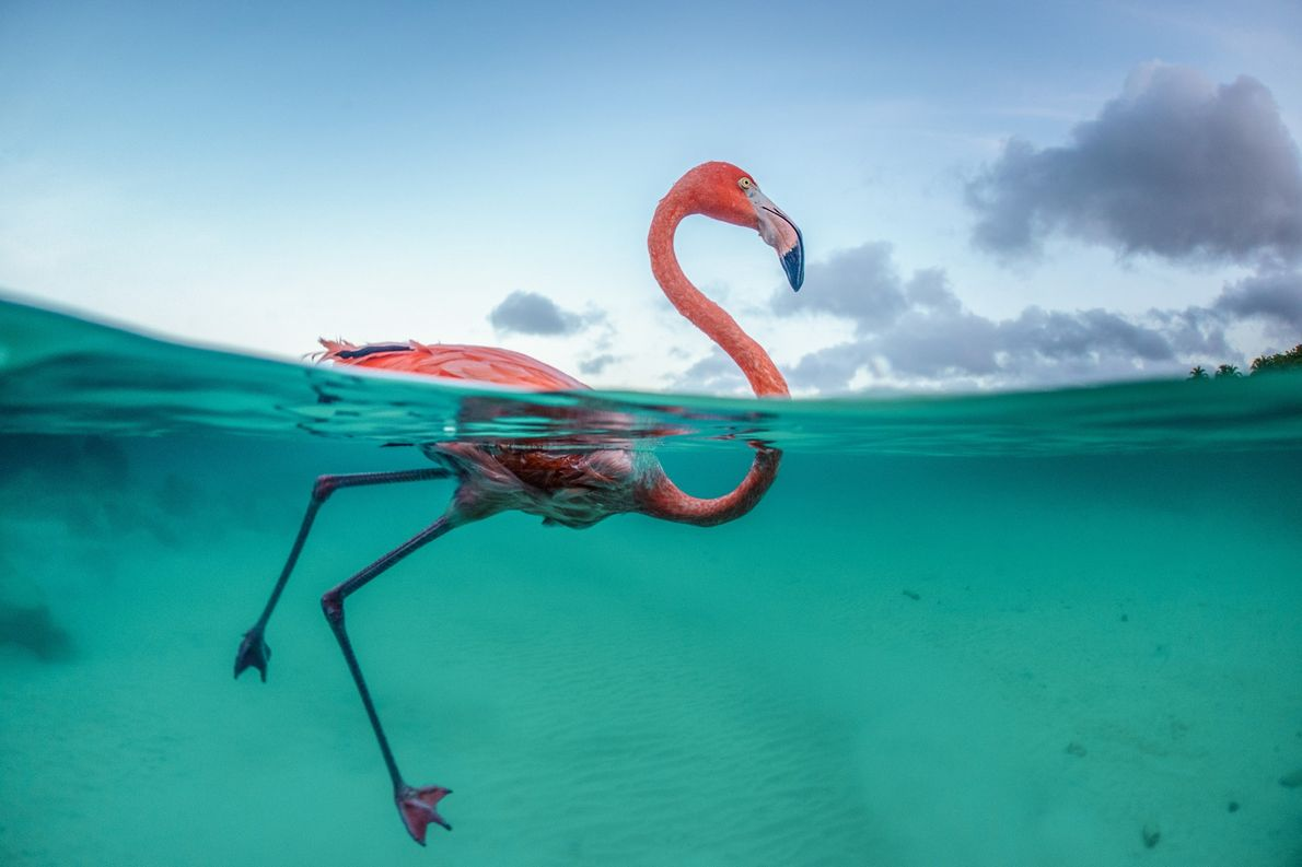 Bob, swimming in the Caribbean, was part of a transient population of between 400 and 600 ...