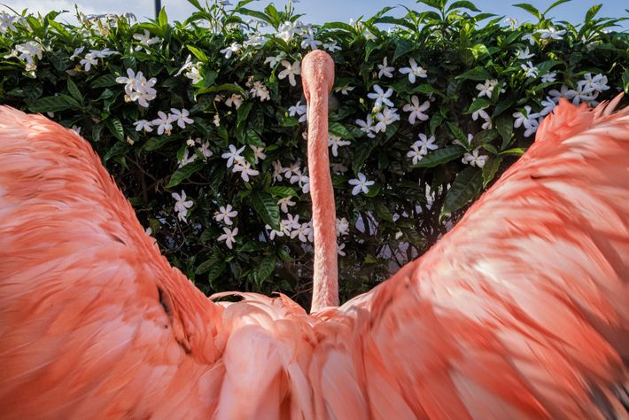 After a swim, Flamingo Bob stretches his wings. In 2016 he smacked into a hotel window ...