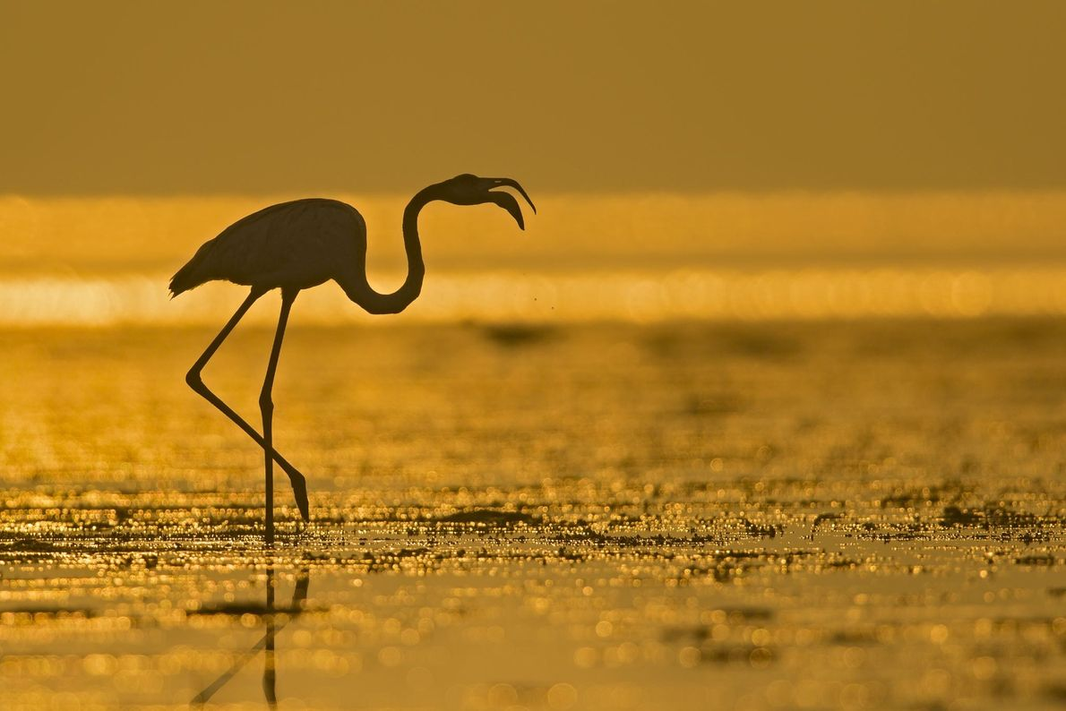 """I found this solitary flamingo digging deep in the shallow waters for the feed as the ..."