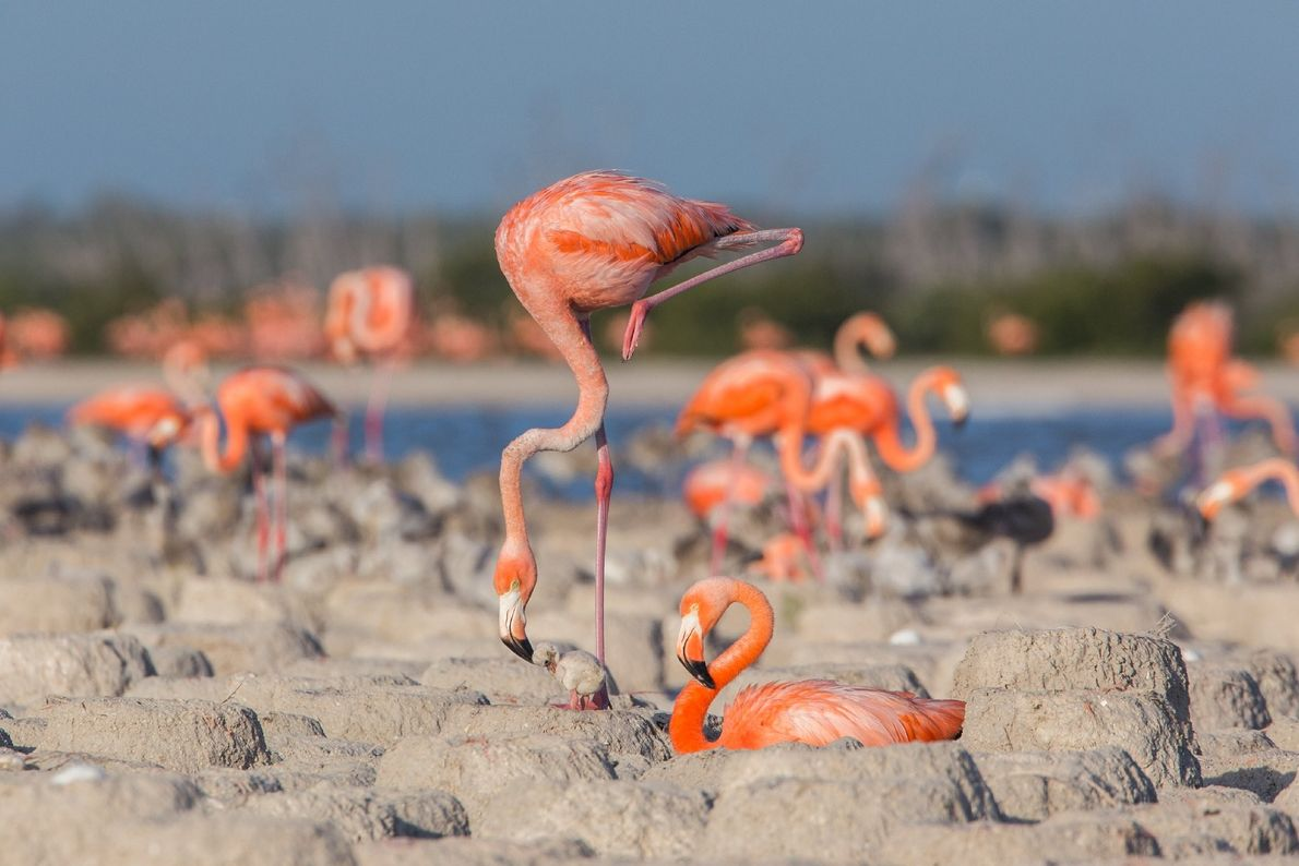 Nesting place of the flamingos. Every year the flamingos arrive at the red lagoons of the ...