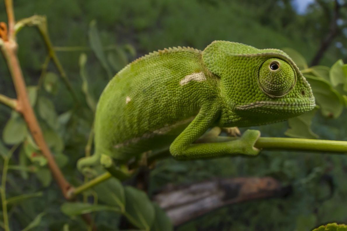 A flap-necked chameleon (Chamaeleo dilepis) climbs through a bush looking for insects to eat in Gorongosa ...