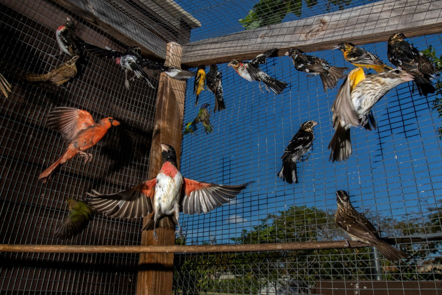 Thousands of migratory songbirds are caught around Florida each year to supply a thriving illegal market. ...