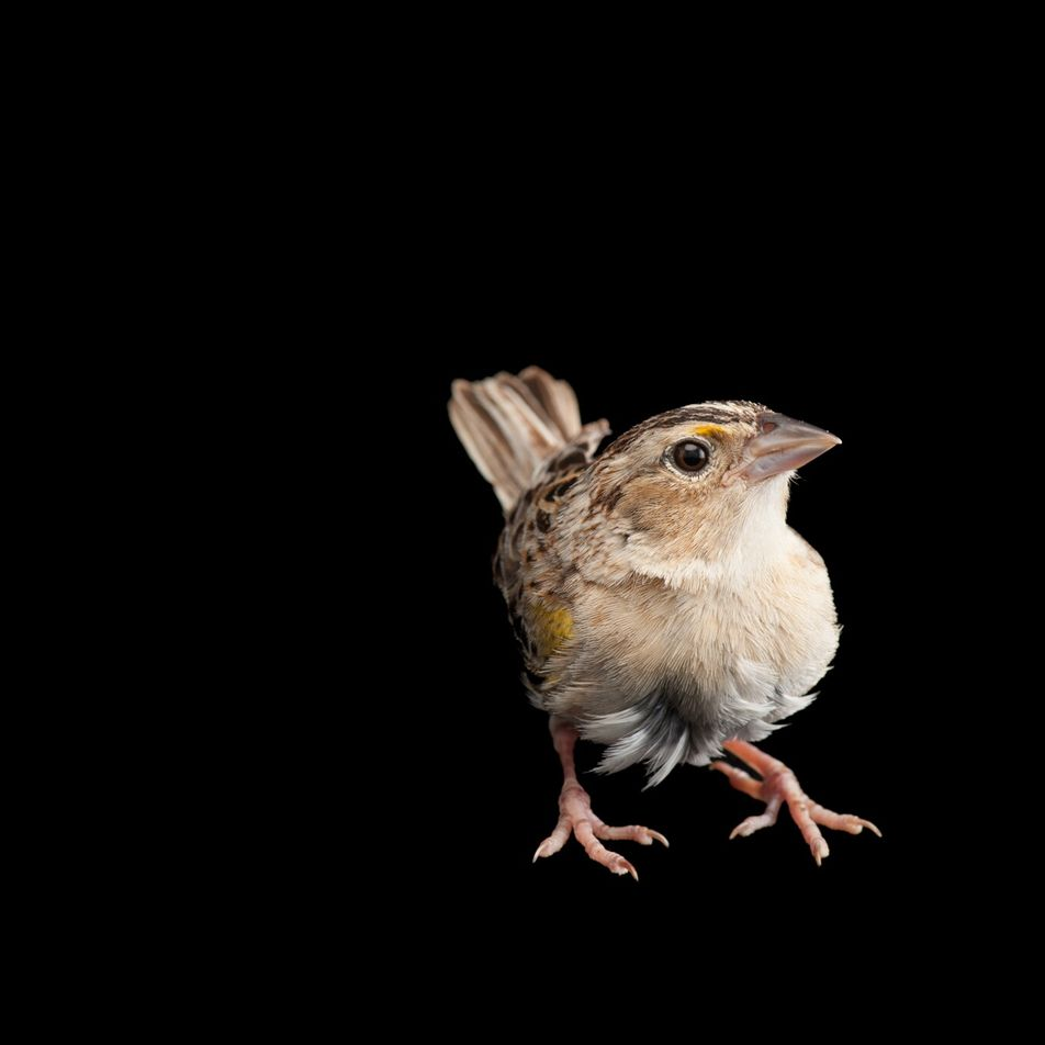 Bringing back the 'most endangered bird' in the U.S.