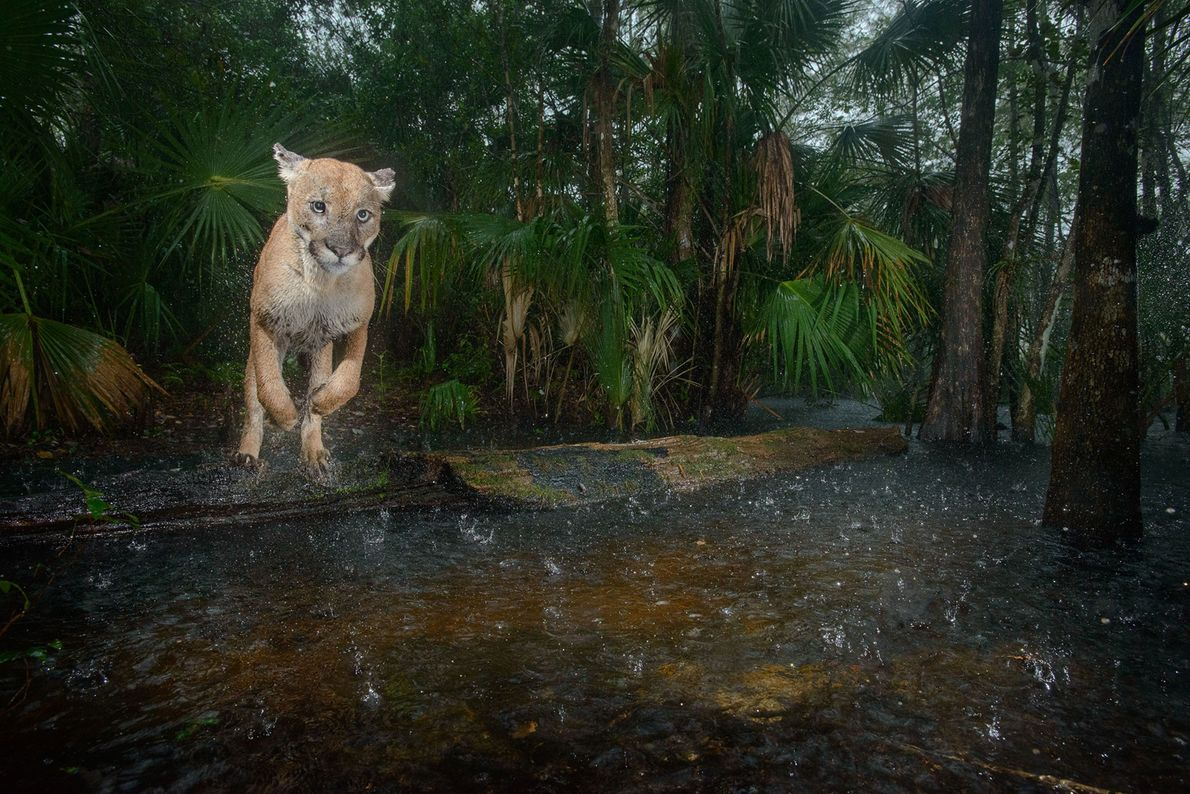 A male panther jumps over a creek in Florida Panther National Wildlife Refuge. A panther would ...