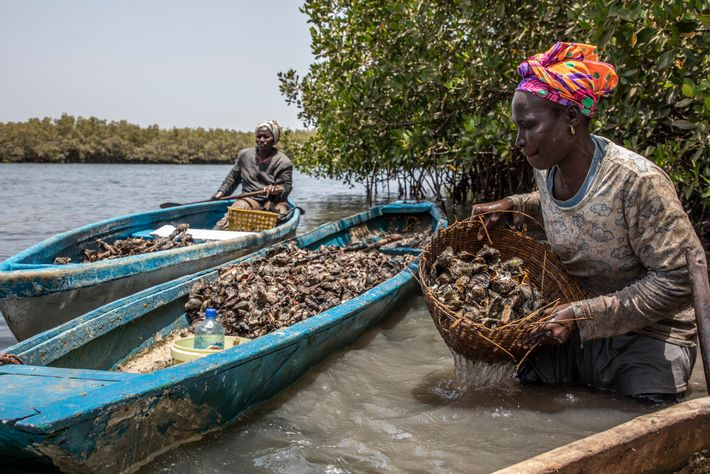 Women from the TRY Oyster Women's Association harvesting oysters in the Gambia River. TRY Oyster Women's ...