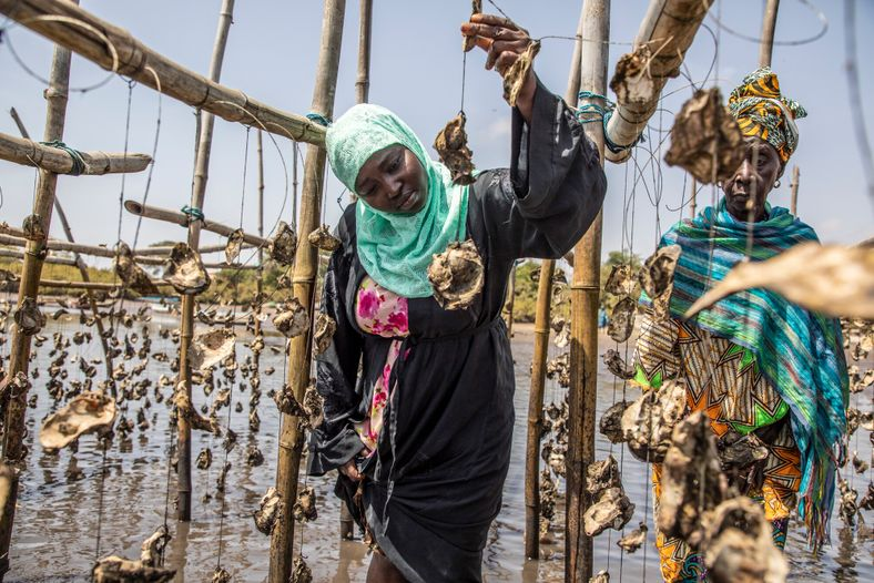 Members of the TRY Oyster Women's Association checking oysters that are grown on strings at an ...