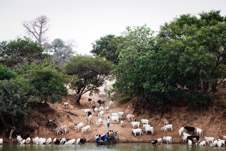 Fula herdsmen bringing their cattle to water on the south bank of the River Gambia at ...