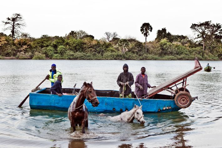 Men from the Fula ethnic group swimming their horses across River Gambia at Karantaba Tenda from, ...