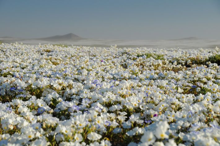 This superbloom is unique in its rarity, making year's of heavy rainfall a great reason to ...