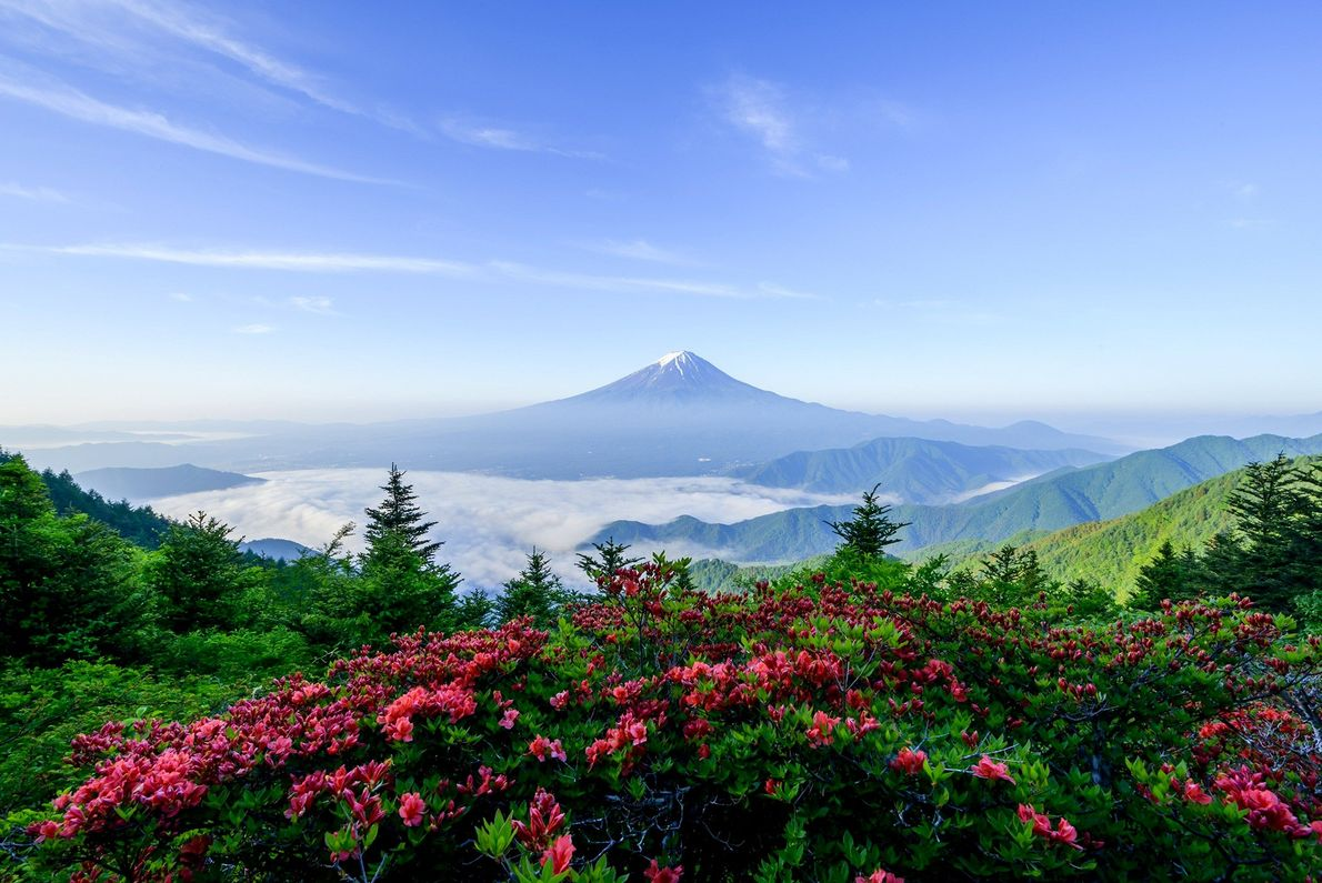 Spring flowers provide a bright and colourful foreground to the atmospheric blue of Mount Fuji.