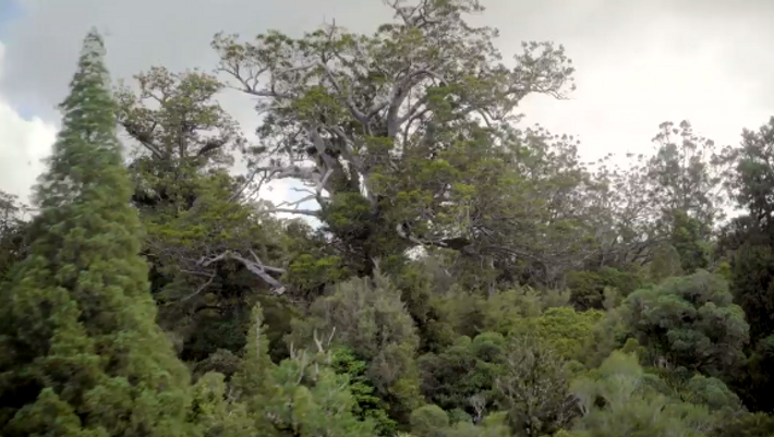 At 167 feet tall, Tāne Mahuta is the largest living tree in New Zealand.