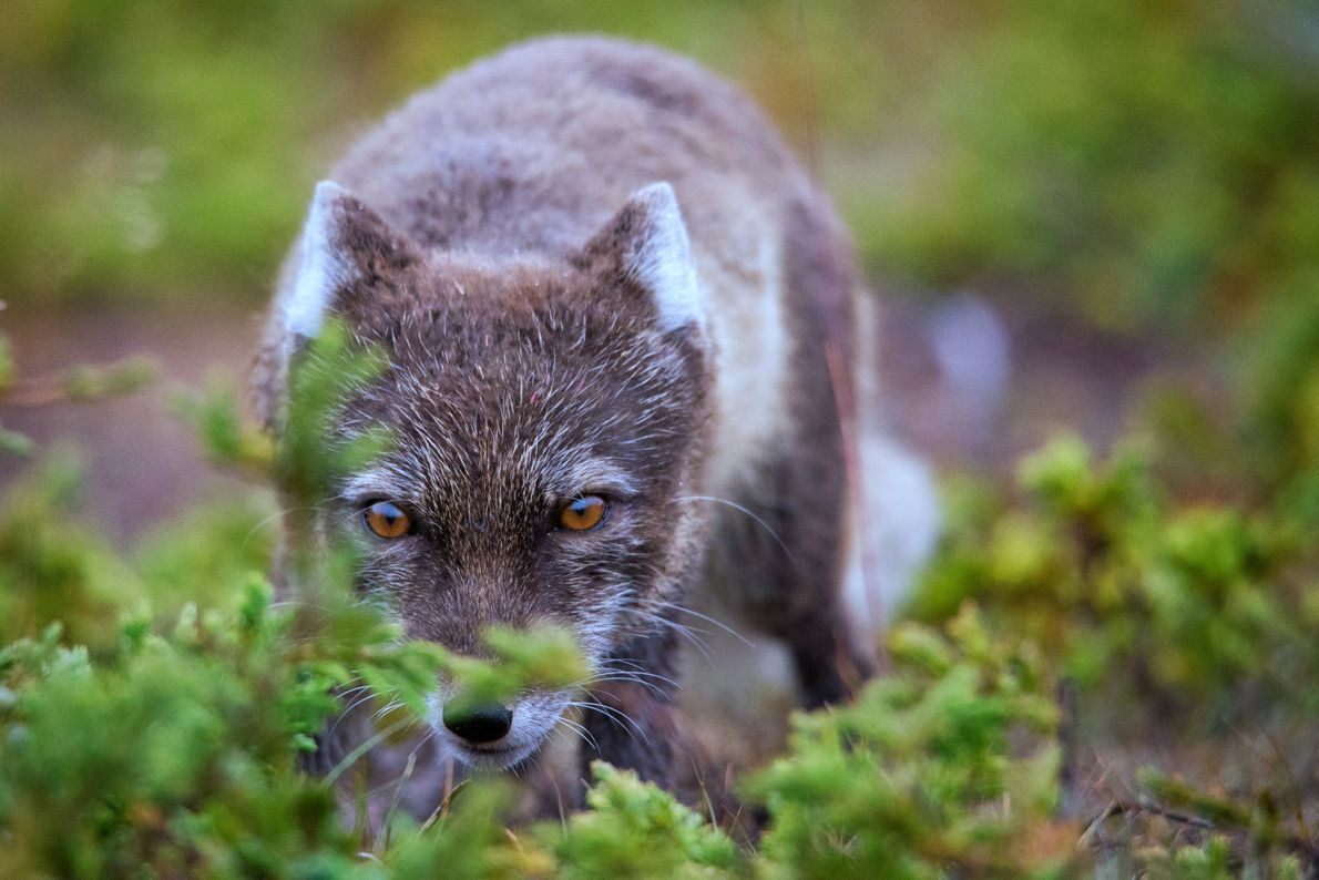 An arctic fox sneaks through the bushes near campsite, hoping to snag a scrap of freshly ...