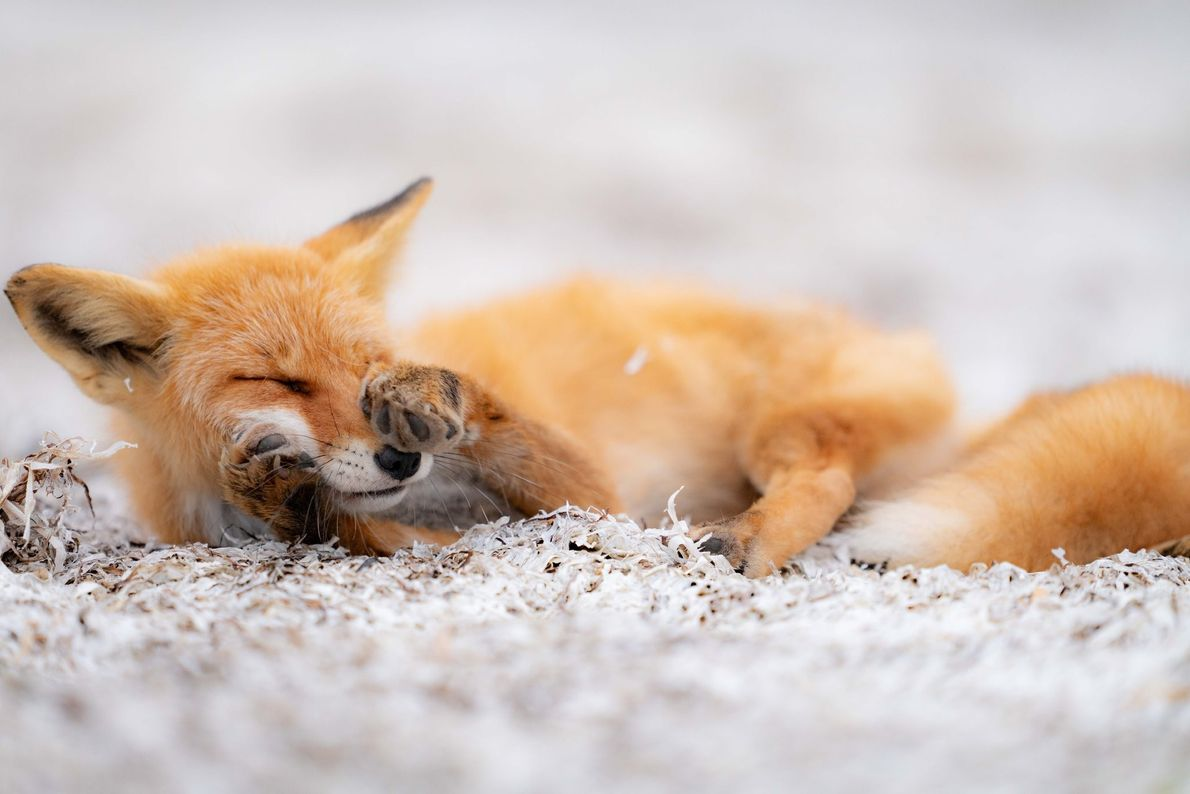 Sleepy Red fox taking a nap on a bed of a white seagrass. Hokkaido, Japan.