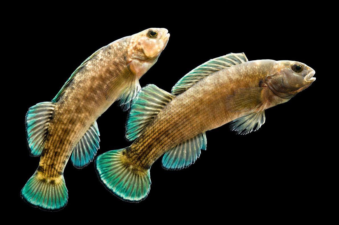 These are endangered boulder darters. The fish is in the perch family and is found in ...