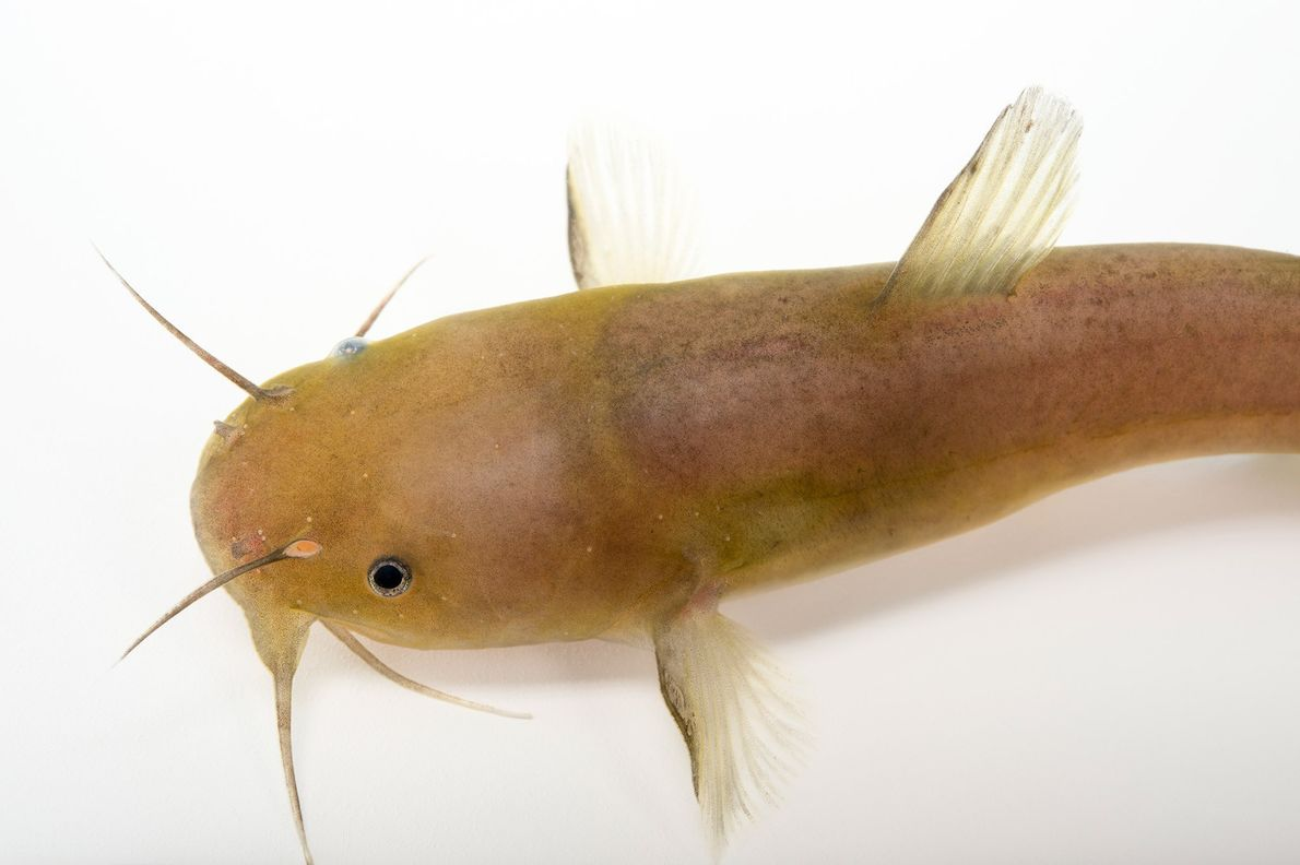 This black madtom was collected from the Yellow River in Florida.