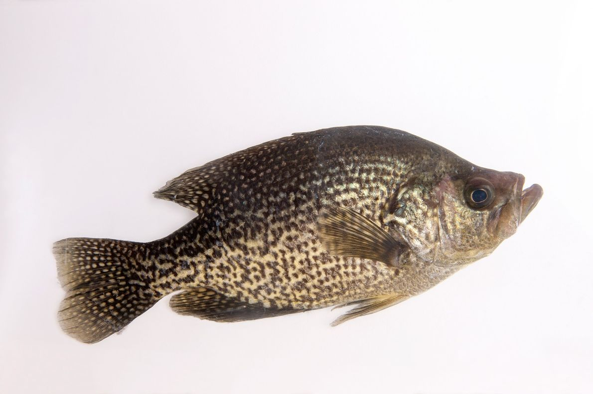 The black crappie can grow to be five pounds.