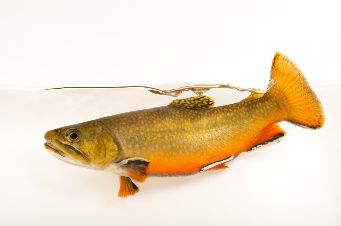 Northern Appalachian brook trout are related to Arctic chars.