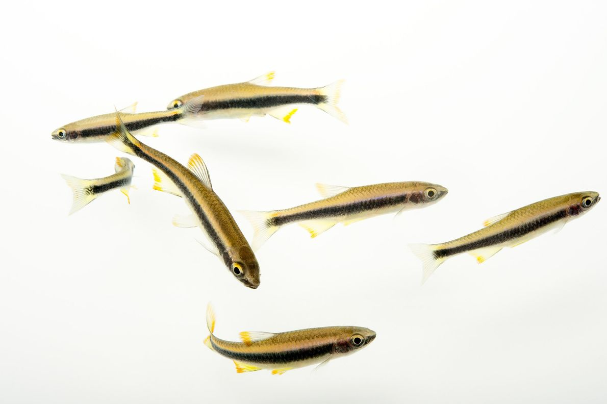 Flagfin shiners live in shallow rivers less than three feet deep.