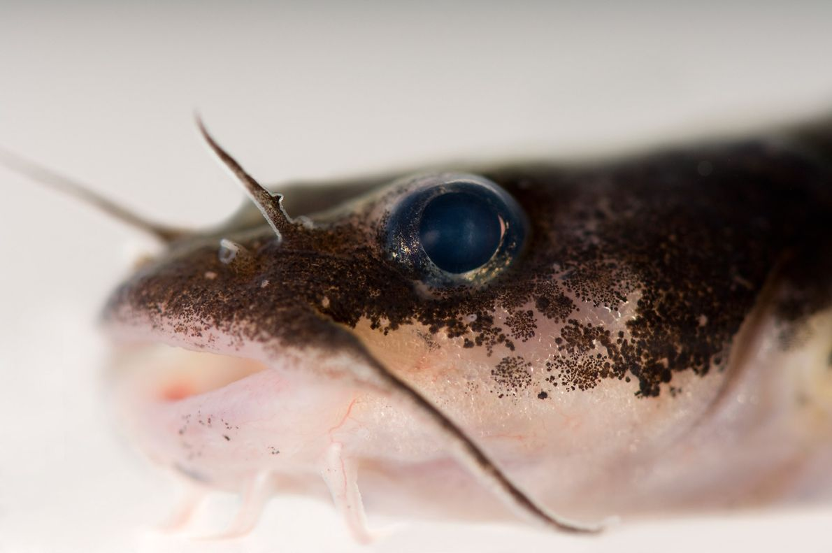 The Chucky madtom, related to the catfish, is critically endangered. Just three of them have been ...