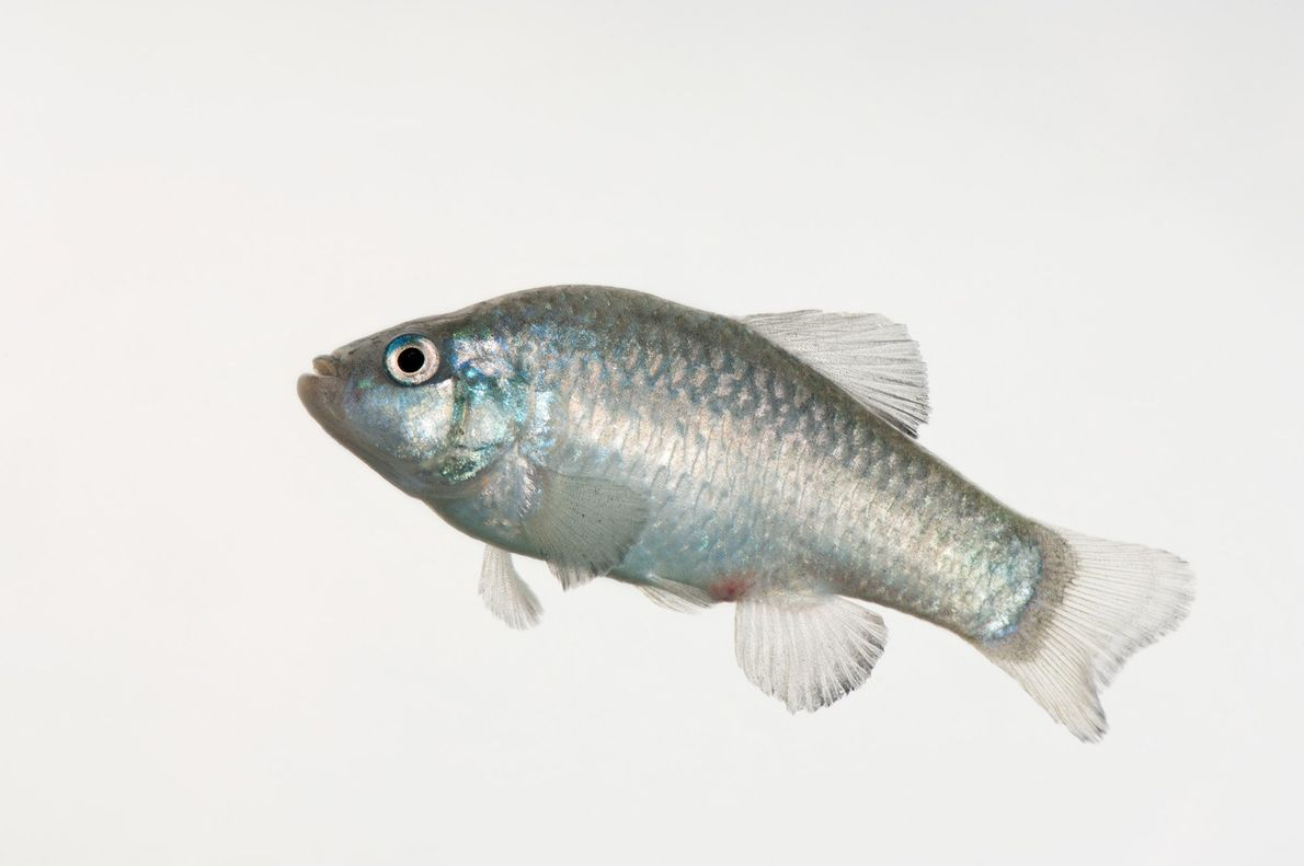 Desert pupfish are related to guppies and reportedly do a fine job controlling mosquito populations by ...