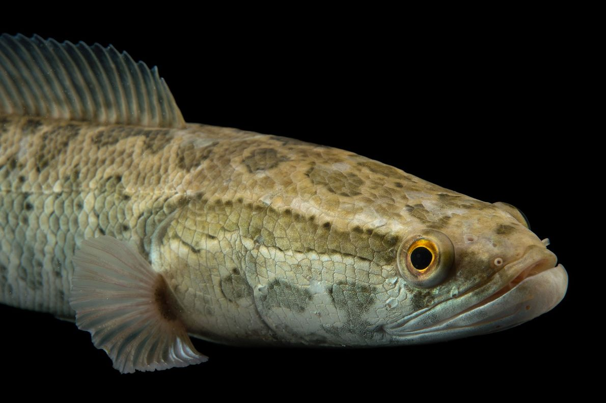The snakehead fish is an invasive fish to the U.S., likely introduced from Asia.