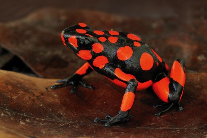 The harlequin poison dart frog of Colombia