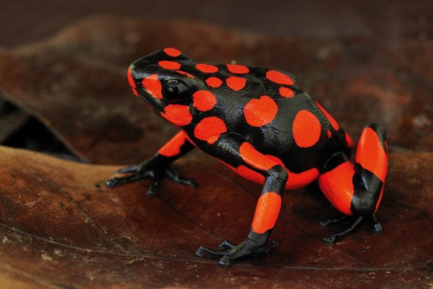 Colombia: Seeking the poison dart frog