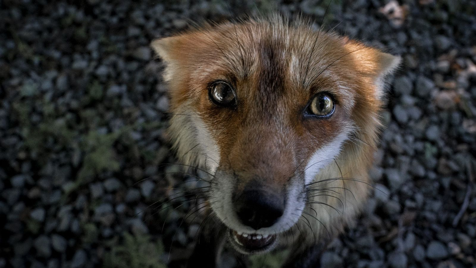 What These Rescued Foxes Tell Us About Their Complexity National Geographic