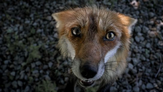 A red fox named Queen Dixie looks up in a bid for treats. The foxes know ...