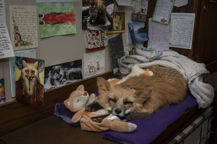 A taxidermy mount of Farah, a much-loved fox, remains in Raines' office, stuffed to look as ...