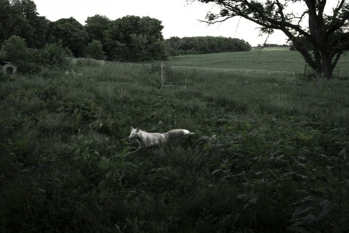 Rowyn, who's actually a red fox bred to be white, runs joyfully through an enclosure at ...