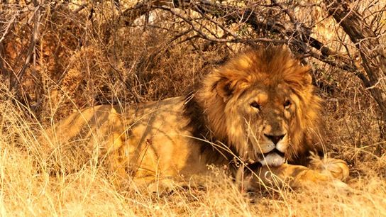 Lion, Kgalagadi Transfrontier Park, Northern Cape.