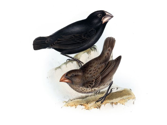 Galápagos finches. Lithograph from Zoology of the Voyage of H.M.S. Beagle, pub. 1838-1843.