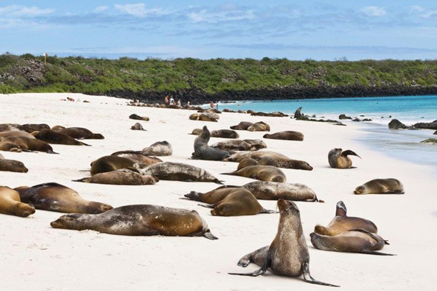 Galapagos sea lions, Española.