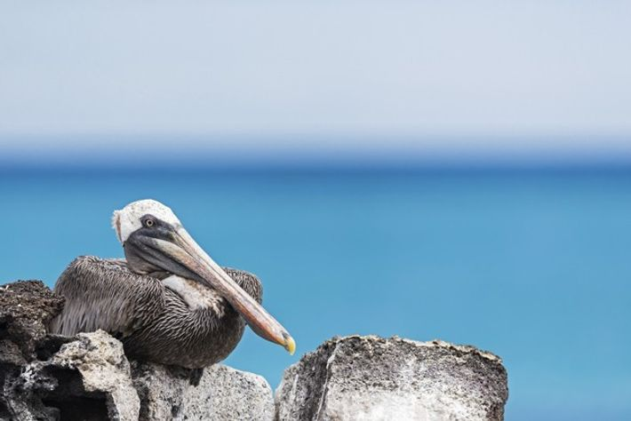 Brown pelican, Santa Cruz.
