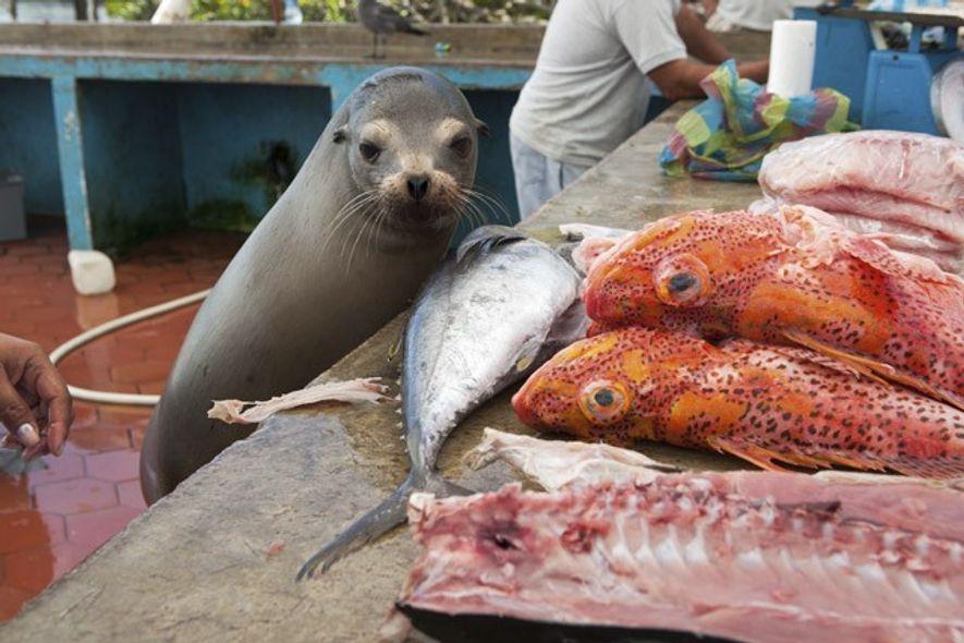 A sea lion eyes a selection of fish, Santa Cruz.