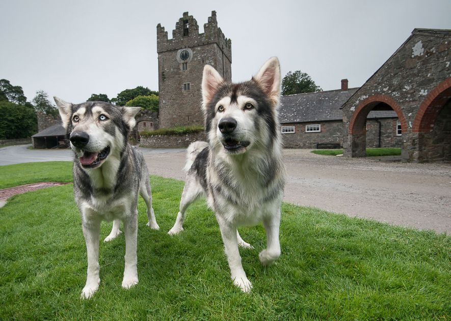 Odin and Thor are Northern Inuit dogs, a crossbreed related to Siberian huskies and German shepherds. ...