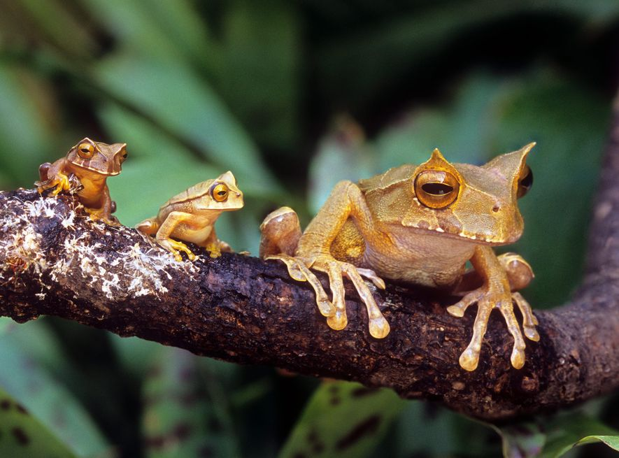 Though these marsupial horned frogs were photographed at the Atlanta Botanical Garden, their wild cousins can ...