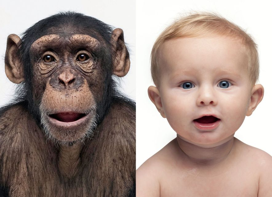 The DNA profiles of these two are nearly 99 percent the same. The genes of any ...