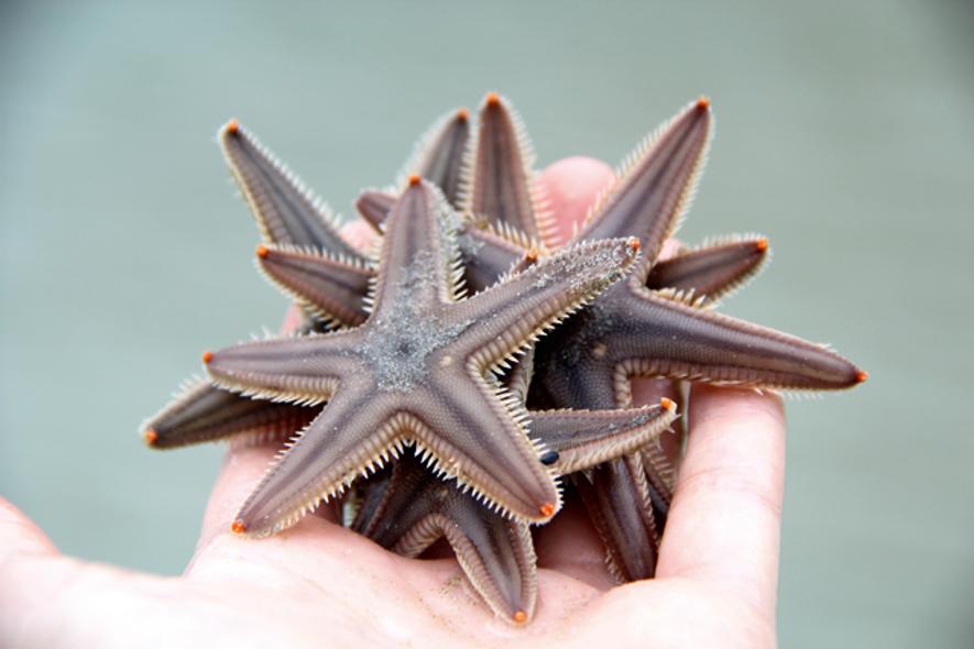 Starfish. Image: Getty