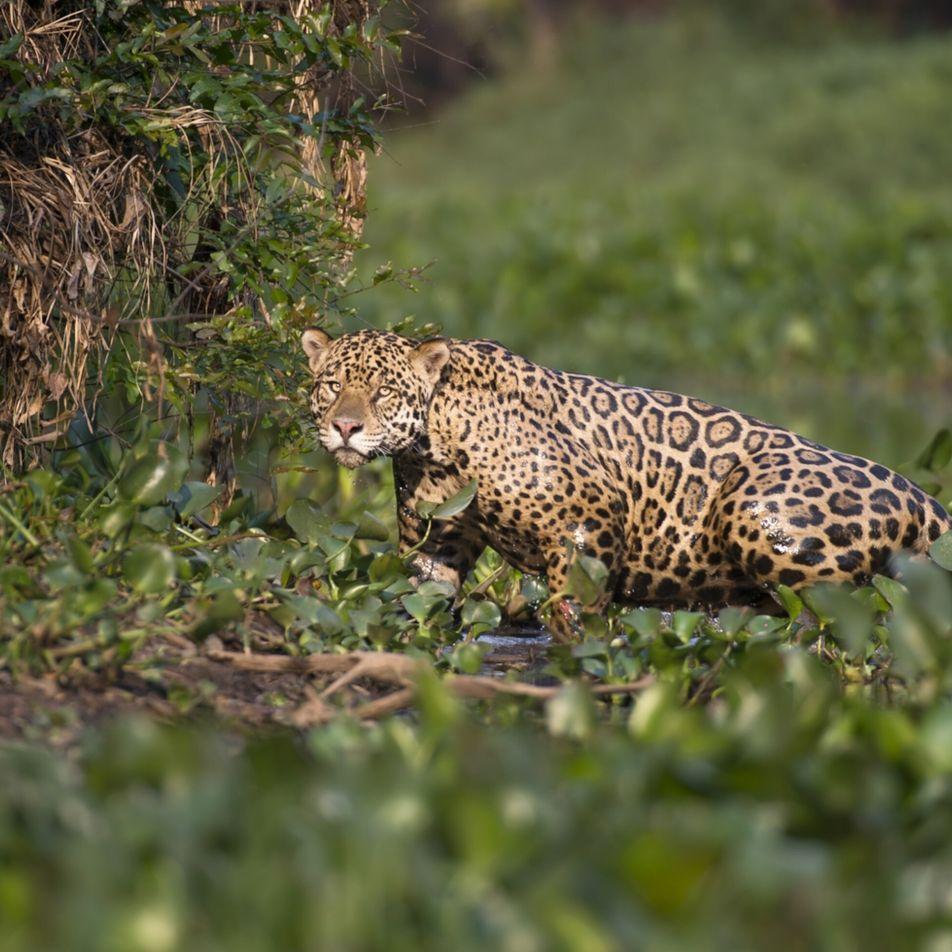 Mysterious jaguar deaths now under investigation in Brazil