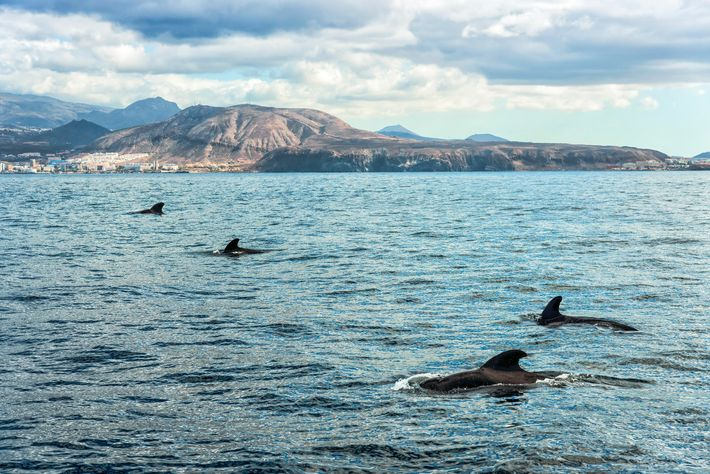 Some species, including the short-finned pilot whale, are resident all year in Tenerife, making sightings possible ...