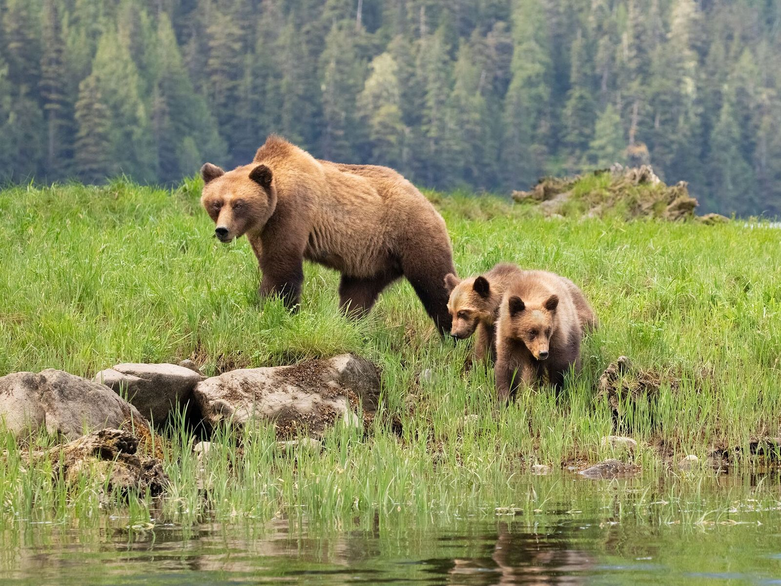 The area is home to one of the largest concentrations of grizzly bears in British Columbia, but the ...